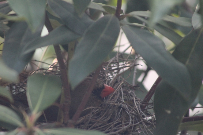cardinal in her nest